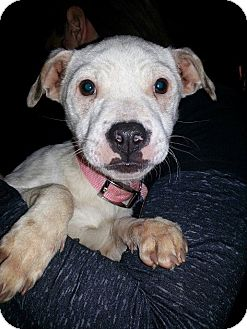 Jack Russell Terrier/Patterdale Terrier (Fell Terrier) Mix Puppy for Sale in East Rockaway, New York - Sparkle