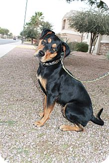 Rottweiler/German Shepherd Dog Mix Dog for Sale in Gilbert, Arizona - Oakley