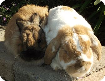 Lop-Eared Mix for Sale in Bonita, California - Tigger