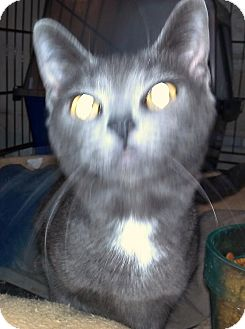 Russian Blue Cat for Sale in Saint Albans, West Virginia - Axel