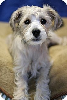 Terrier (Unknown Type, Small) Mix Puppy for Sale in Gilbert, Arizona - Benny