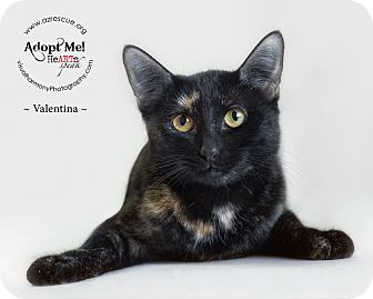 Domestic Shorthair Cat for adoption in Phoenix, Arizona - Valentina
