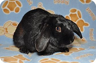 Mini Lop Mix for adoption in Chesterfield, Missouri - Jesse