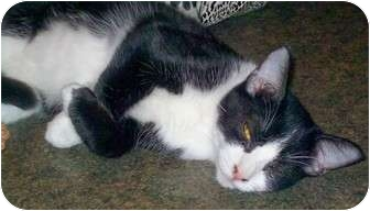 American Shorthair Cat for adoption in McMinnville, Tennessee - Ziggy