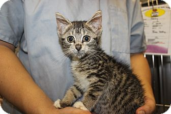Domestic Shorthair Kitten for Sale in New York, New York - Bita