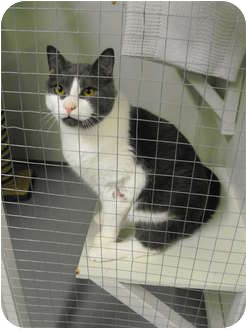 Domestic Shorthair Cat for adoption in Mission, British Columbia - J.R.