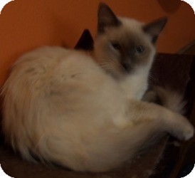 Ragdoll Kitten for Sale in Ennis, Texas - Hamon