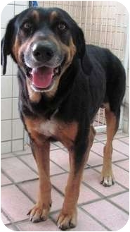 Rottweiler/Hound (Unknown Type) Mix Dog for adption in Homestead, Florida - Maroone
