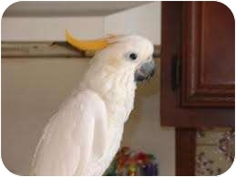 Cockatoo for adoption in Mantua, Ohio - TANG
