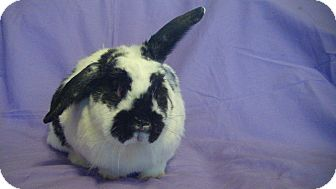 Lop-Eared Mix for adoption in Garland, Texas - Izzy