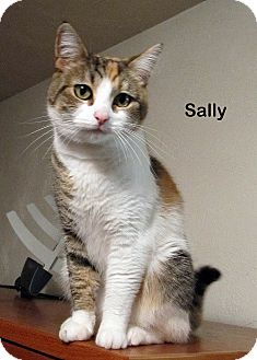 Domestic Shorthair Cat for Sale in Portland, Oregon - Sally
