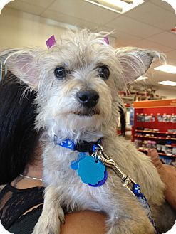 Terrier (Unknown Type, Small) Mix Dog for Sale in Van Nuys, California - Minnie