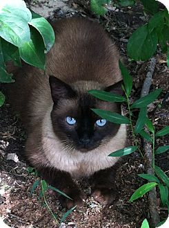 Siamese Cat for Sale in South Chesterfield, Virginia - Griffin
