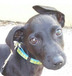 Chihuahua/Labrador Retriever Mix. Meet Dexter - mini lab a Puppy for