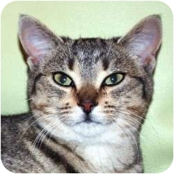 Domestic Shorthair Cat for adoption in St. Clements, Ontario - Caboodle