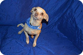 Chihuahua Dog for adption in North Little Rock, Arkansas - Hunter