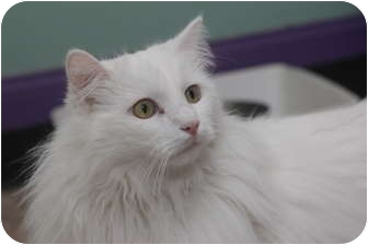 Domestic Longhair Cat for adoption in Leonardtown, Maryland - Irwin