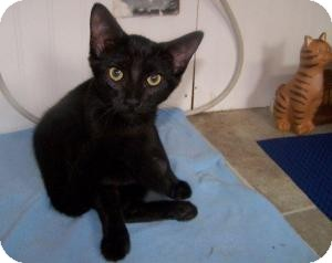 Domestic Shorthair Kitten for adoption in Nashville, Tennessee - Penny