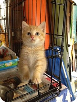 Manx Kitten for Sale in Spring Valley, New York - Peep