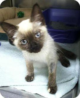 Siamese Kitten for Sale in Edmond, Oklahoma - Matilda