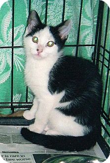 Domestic Shorthair Cat for Sale in Petersburg, Virginia - Paco