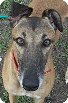 Greyhound Dog for Sale in Longwood, Florida - Boc's Fortitude