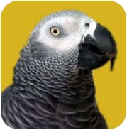 African Grey for Sale in Arlington, Virginia - Chimo