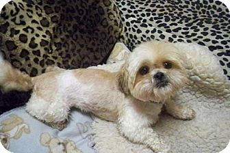Shih Tzu Dog for adption in Los Angeles, California - TRISTEN