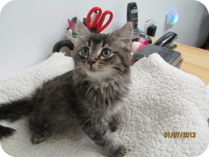 Maine Coon Kitten for Sale in Oceanside, New York - Butter