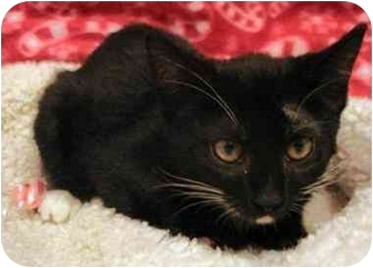 Domestic Shorthair Cat for adoption in Dallas, Texas - Julianne