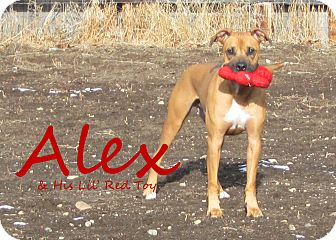 Hound (Unknown Type) Mix Dog for Sale in Hamilton, Montana - Alex