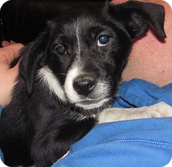 Border Collie/Labrador Retriever Mix Puppy for Sale in Southern, Maine - Roxanne-LOCAL
