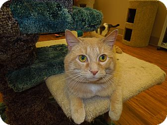 Domestic Shorthair Cat for Sale in Medina, Ohio - Carl