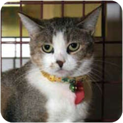 Domestic Shorthair Cat for adoption in Mesa, Arizona - Annabell