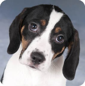 Beagle/Springer Spaniel Mix Puppy for Sale in Chicago, Illinois - Sunny