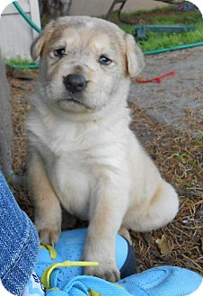 Golden Retriever/Husky Mix Puppy for Sale in Torrance, California - CINDERELLA