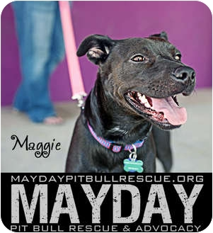 American Pit Bull Terrier Mix Dog for adption in Phoenix, Arizona - Maggie