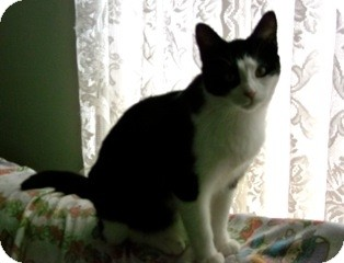 Domestic Shorthair Cat for adoption in Orillia, Ontario - Panda