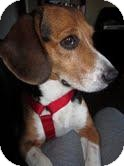 Beagle Mix Dog for Sale in Phoenix, Arizona - Gatsby