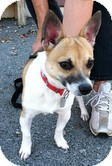 Corgi/Jack Russell Terrier Mix Dog for Sale in Windham, New Hampshire - Callaway (Extremely Urgent)