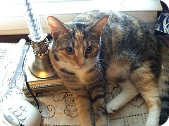 Calico Cat for Sale in South Chesterfield, Virginia - Autumn