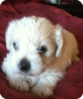 Norfolk Terrier/Lhasa Apso Mix Puppy for Sale in Van Nuys, California - Crystal