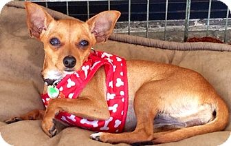 Chihuahua Mix Dog for adption in San Diego, California - Bitsy
