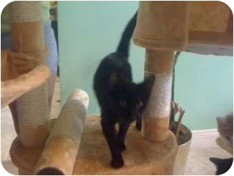 Domestic Shorthair Cat for Sale in Mobile, Alabama - Thelma