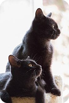 Bombay Kitten for Sale in Chicago, Illinois - Scout & Smudge