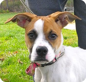 Boxer Mix Puppy for Sale in Brookville, Indiana - Mary Jane