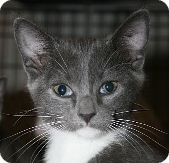 Domestic Shorthair Kitten for Sale in Plainville, Massachusetts - Briar