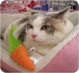 Domestic Shorthair Cat for adoption in Petersburg, Virginia - Clarice