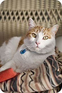 Domestic Shorthair Cat for Sale in Grand Rapids, Michigan - Wayne