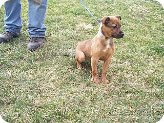 Boxer/Labrador Retriever Mix Puppy for adption in Germantown, Maryland - Patty